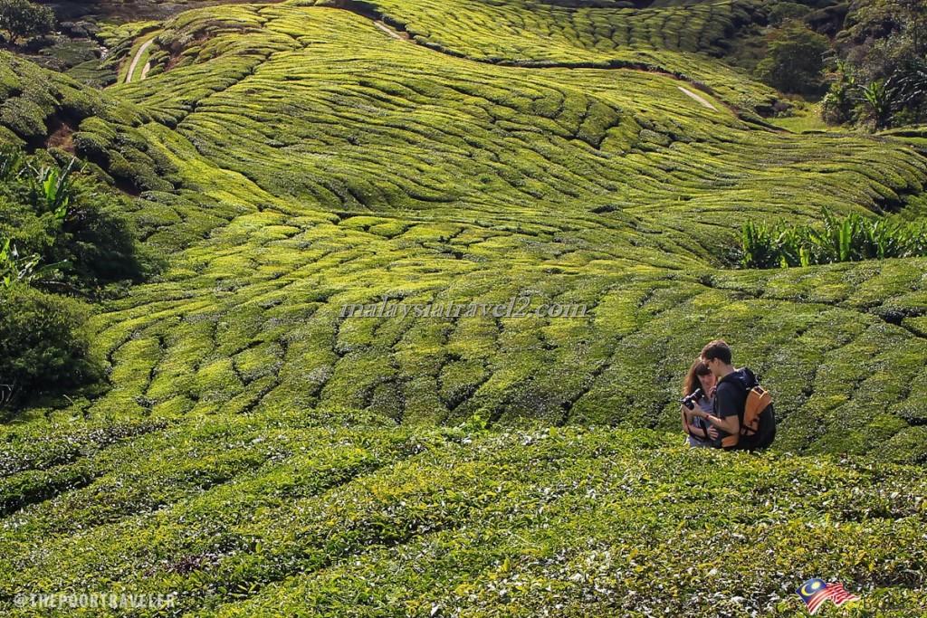 امزارع الشاي7