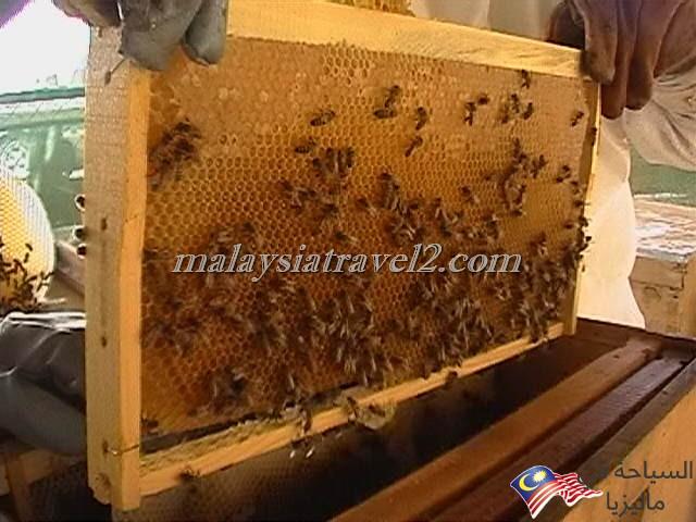 مزارع العسل14