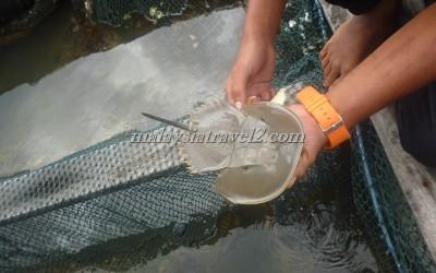 مزرعه الاسماك في رحله المانقروف في لنكاوي2