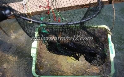 مزرعه الاسماك في رحله المانقروف في لنكاوي4