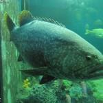 سمكة عملاقة في عالم تحت الماء في لنكاوي