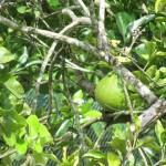 فواكة في حديقة الفواكة في لنكاوي