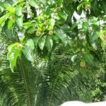 شجره في حديقة الفواكة في لنكاوي