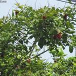 شجره الفاكهه في حديقة الفواكة في لنكاوي