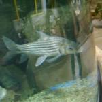 سمكة كبيرة في عالم تحت الماء في لنكاوي