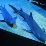 سمكة القرش في عالم تحت الماء في لنكاوي