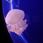 قنديل البحر في عالم تحت الماء في لنكاوي
