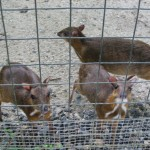 غزال الفأر حديقة الطيور في جزيرة لنكاوي ماليزيا
