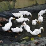 البط حديقة الطيور في جزيرة لنكاوي ماليزيا