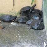 السلاحف حديقة الطيور في جزيرة لنكاوي ماليزيا