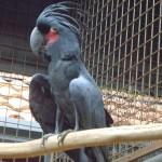 بغبغاء الكاكانو الرمادي حديقة الطيور في جزيرة لنكاوي ماليزيا