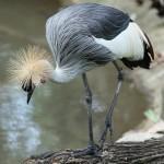 طير التاج الذهبي حديقة الطيور في جزيرة لنكاوي ماليزيا