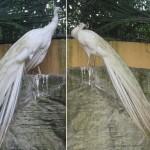 الطاووس الابيض حديقة الطيور في جزيرة لنكاوي ماليزيا