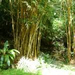 الخيزران في حديقة التوابل في جزيرة بينانج