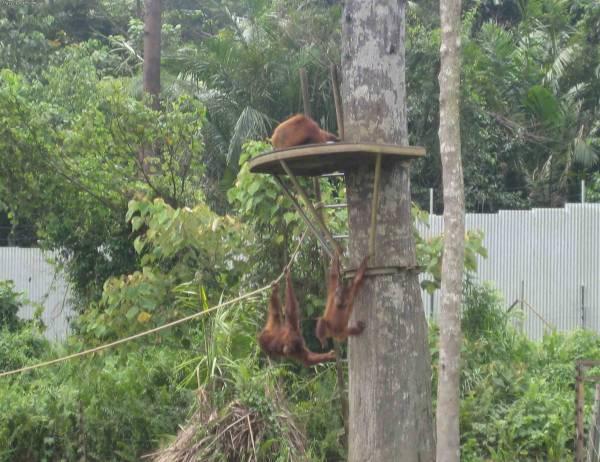 بعض الغوريلات تلعب في جزيرة الغوريلا في بينانج