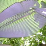 ورقة شجر يتغير لنوها الى فضي بفعل فلاش الكاميرا في حديقة التوابل في جزيرة بينانج