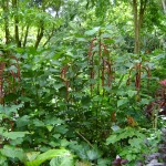 نبات ذيل القط في حديقة التوابل في جزيرة بينانج