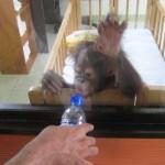 غوريلا رضيع في جزيرة الغوريلا في بينانج