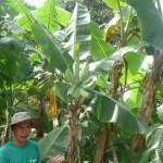 مرشد في حديقة الفواكة في بينانج