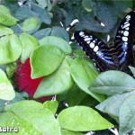 فراشة جميلة في حديقة الفراشات في بينانج