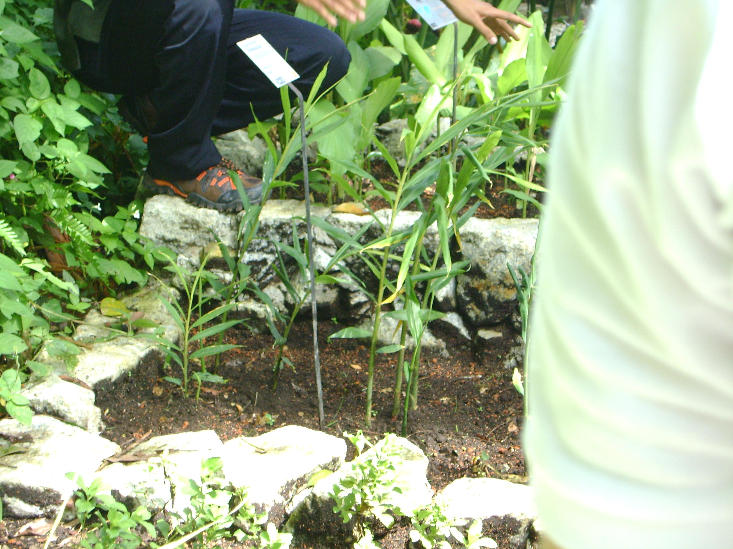 في ماليزيا حديقة للتوابل 3