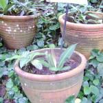 نباتات في حديقة التوابل في جزيرة بينانج