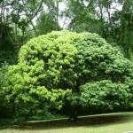 شجرة في حديقة النباتات و الزهور في بينانج
