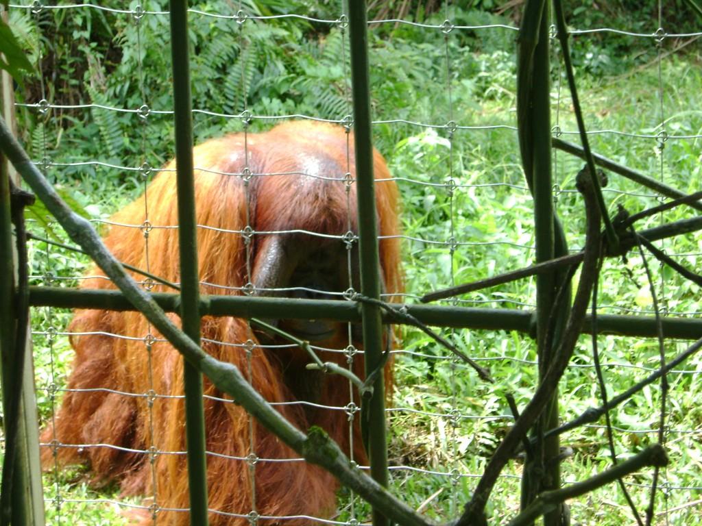 الغوريلا في بينانج