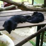 النمر الاسود في جزيرة الغوريلا في بينانج