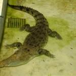 التمساح في حديقة الحيوانات في جزيرة الغوريلا في بينانج