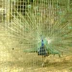 الطاووس في جزيرة الغوريلا في بينانج
