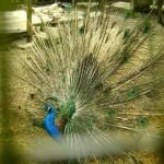 الطاووس في حديقة الطيور في جزيرة الغوريلا في بينانج
