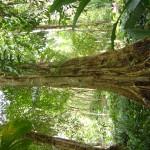 شجرة قديمة جداً في حديقة التوابل في جزيرة بينانج