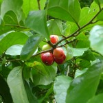 فواكة في حديقة الفواكة في بينانج
