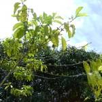 اشجار الفواكة في حديقة الفواكة في بينانج