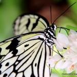 فراشة ملونه رائعة في حديقة الفراشات في بينانج