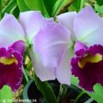 بعض انواع الزهور في حديقة النباتات و الزهور في بينانج