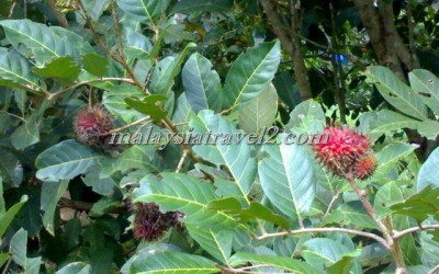 tropical fruit farm حديقة الفواكة في بينانج4