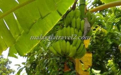 tropical fruit farm حديقة الفواكة في بينانج7