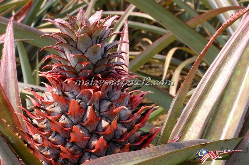 Pineapple Museum1