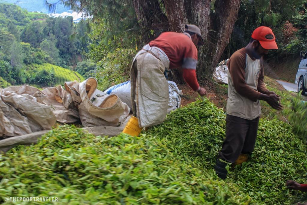 tea-plantation-workers